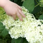 How to Get a Yard Full of Beautiful Hydrangeas