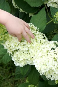 How to Get a Yard Full of Beautiful Hydrangeas