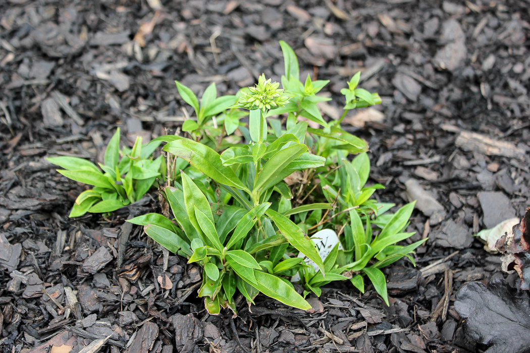 Front Yard Landscape Makeover - Opening Act White Phlox