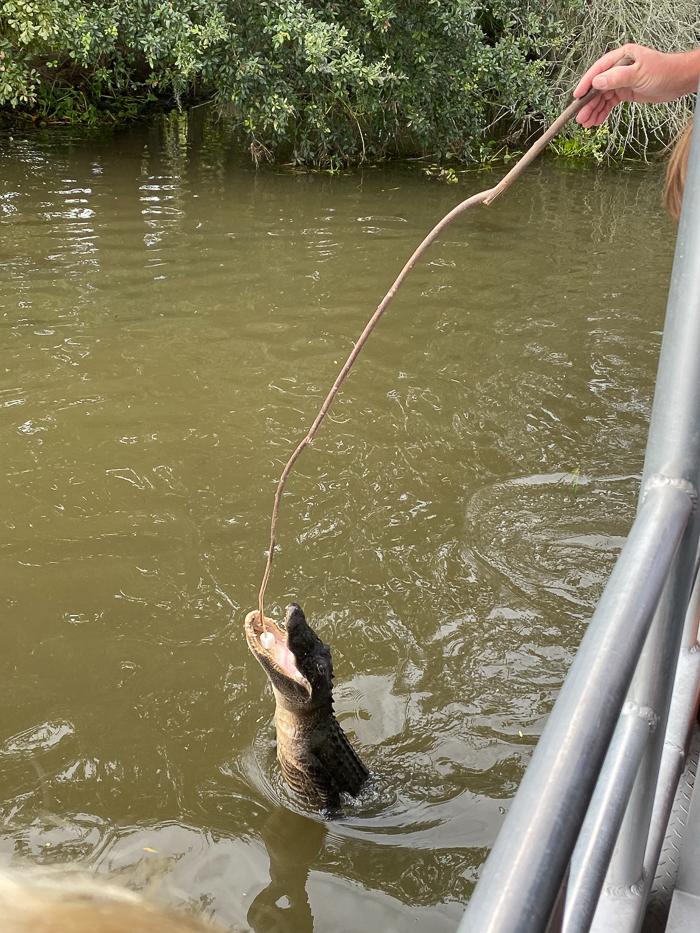 Alligators in Swamp Tour in New Orleans